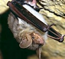 Rare species of bat discovered in World War II Shelters
