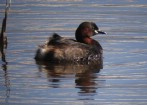 Only second time on record of Little Grebe breeding in Malta