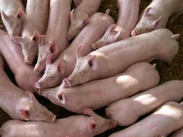 Pig population in December amounted to 76,900, an increase of 4.4 per cent