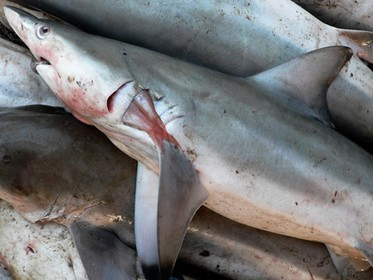 Malta needs a plan of action for sharks - Petition
