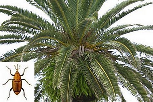 Palm fronds to be used by the fishing industry
