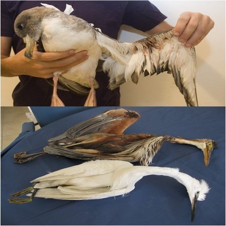 Protected birds gunned down even before the hunting season opens