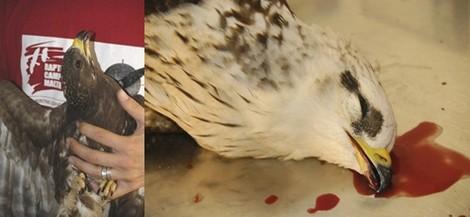 Honey Buzzards gunned down as huge flocks arrive