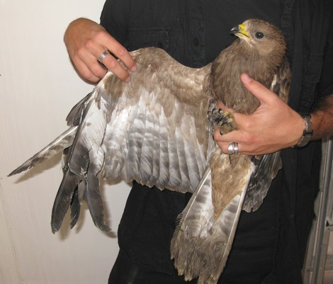 Honey-buzzard found on the 11th of October in Xewkija Gozo with a gunshot to the wing