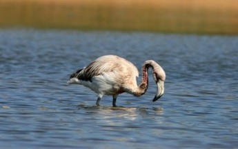Flamingo with head wound confirmed to have been shot