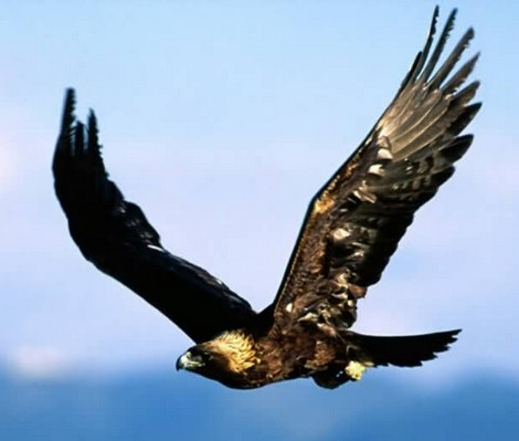 Golden Eagle escapes - FKNK appeals for support
