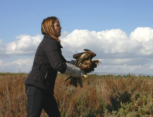 Three Marsh Harriers shot in Malta rehabilitated and released in Sicily