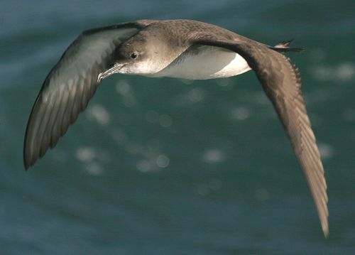 Boat operators and conservationists team up to protect the Yelkouan Shearwater