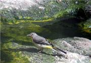 Grey Wagtails first confirmed breeding pair in 100 years