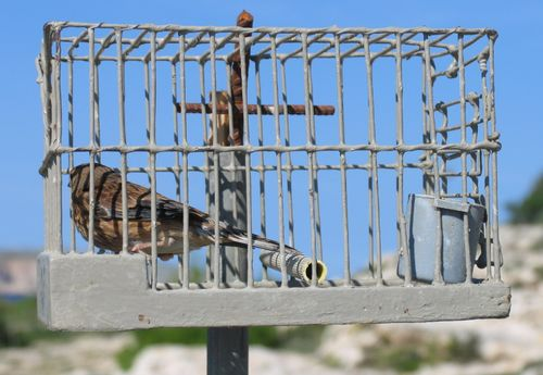 EC's action on finch trapping welcomed but is too late to be effective - BLM