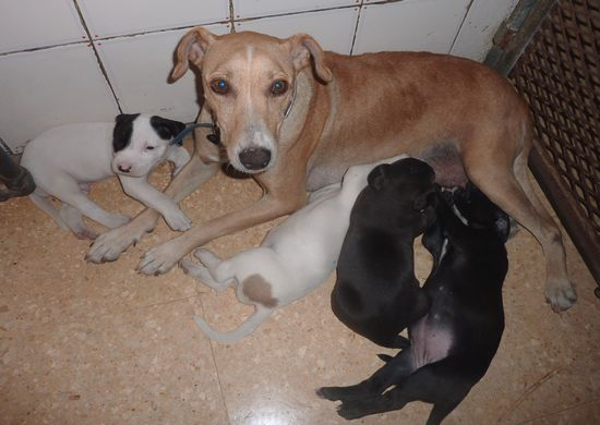 Arduina & her puppies awaiting rehoming at Gozo SPCA