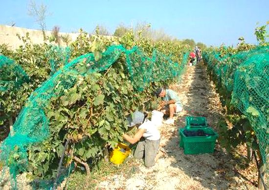 Agri-tourism is taking roots in Gharb Vineyard