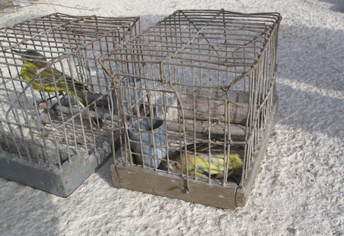Same illegal trapper caught again - Birdlife Malta