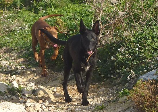 Gozo SPCA ask for help to find puppy lost at Ta 'Cenc