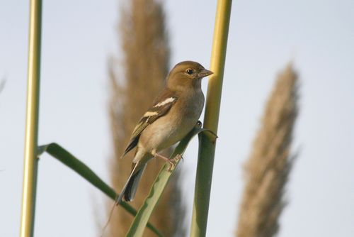 Study shows increase in finch numbers - Birdlife Malta
