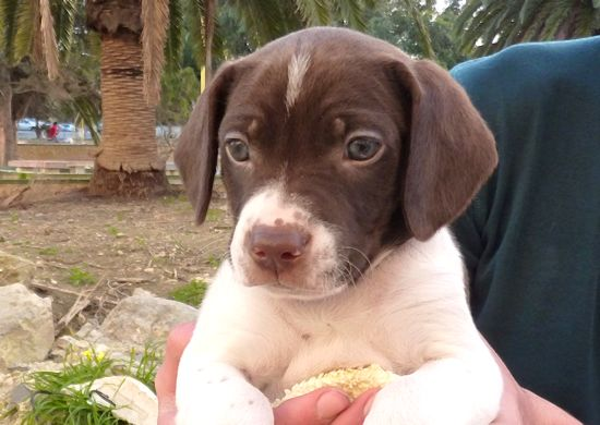 Islay is a lovely Pointer X puppy ready for a new home