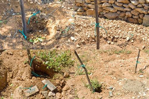 Sixty olive & pomegranate trees stolen from Qala picnic area