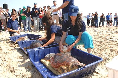 Turtle release at Mellieha Bay - Beach of Quality 2010