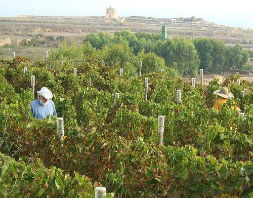 Activity to be held at the Tal-Massar Vineyard in Gharb