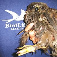 Honey Buzzard found in the sea off the  Freeport - Birdlife