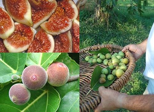 Xaghra's 'Figs Festival' came to a successful end yesterday