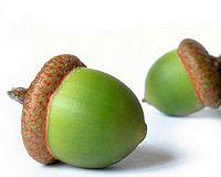 Sowing acorns at Ghar Dalam with Heritage Malta