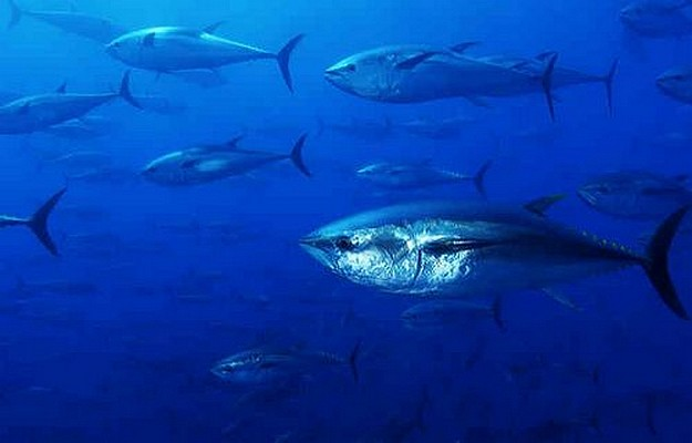 Greens call for EU to close its Bluefin tuna fishery season
