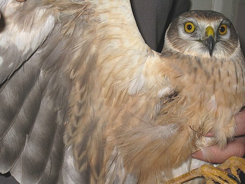 Endangered bird shot in Malta, flown to Germany for rehab