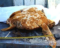 2 dead loggerhead turtles found at Ramla Bay in 10 days