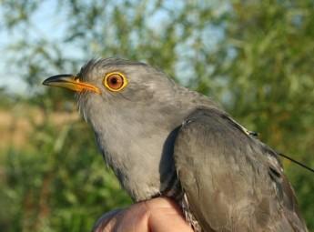 Tracked Cuckoos flying the Central Mediterranean Flyway