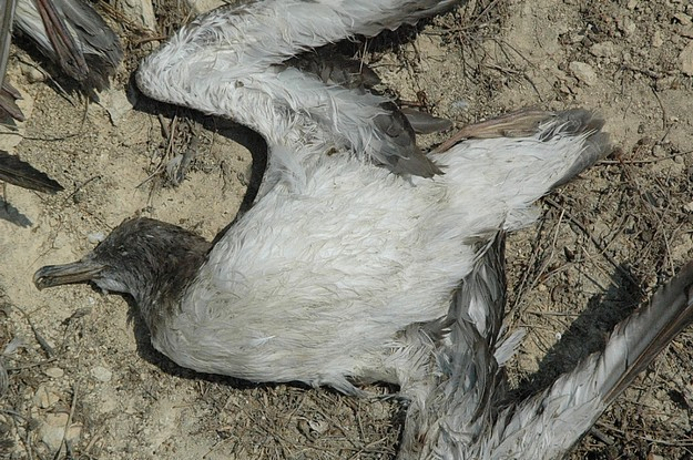 Cory's Shearwater chicks alone after parents killed in Gharb
