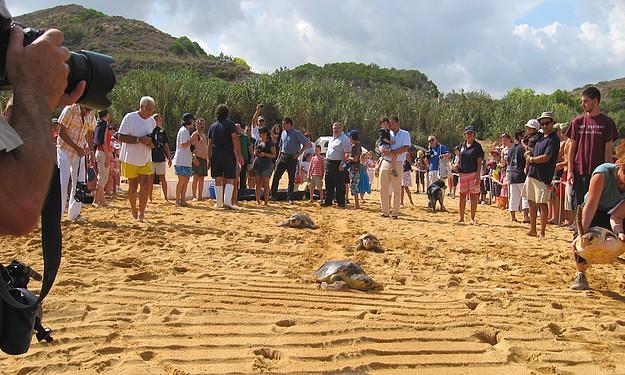 Six Loggerhead turtles returned to the sea in Gnejna