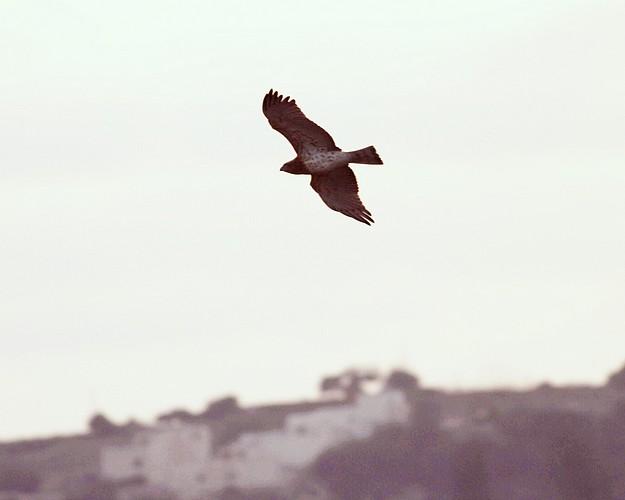 Rare eagle shot down - BirdLife appeals for information