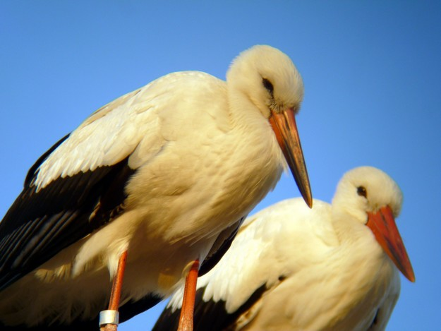 Young White Storks from Hungary delight locals in Mgarr