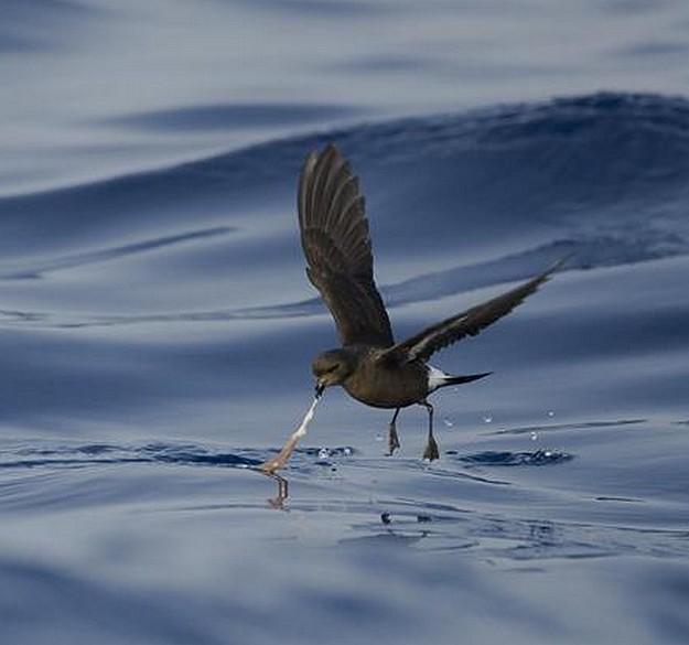Birdlife & the Government launch Malta seabirds project
