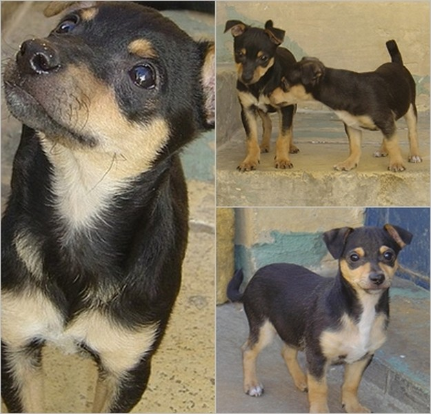 Jet & Jude, 2 little dogs at the Gozo SPCA in need of homes