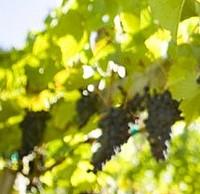 New EU regulation agreed for 2012 harvest of Organic Wine
