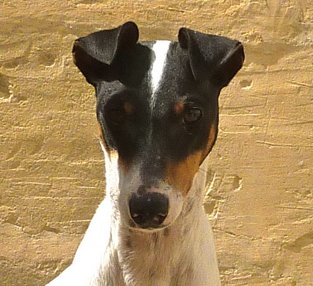 Aster is a young fox terrier who deserves a loving home
