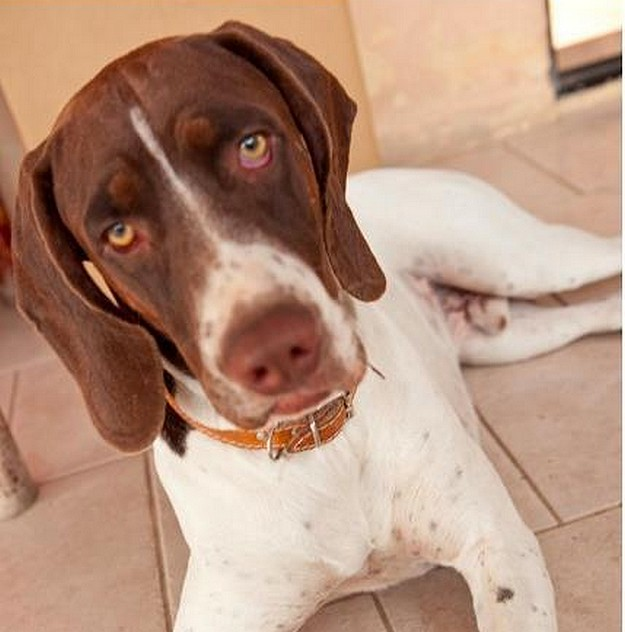 Help needed to find missing German Pointer in Gozo