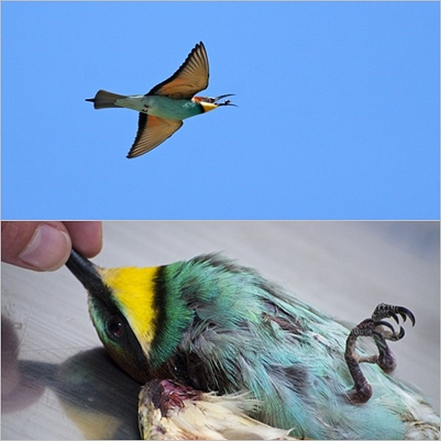 Government exploiting loopholes in Birds Directive - BLM