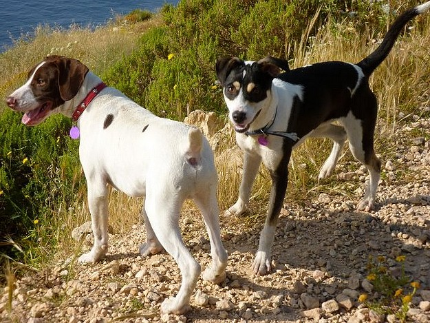 Patches & Boy are 2 fun loving dogs needing forever homes