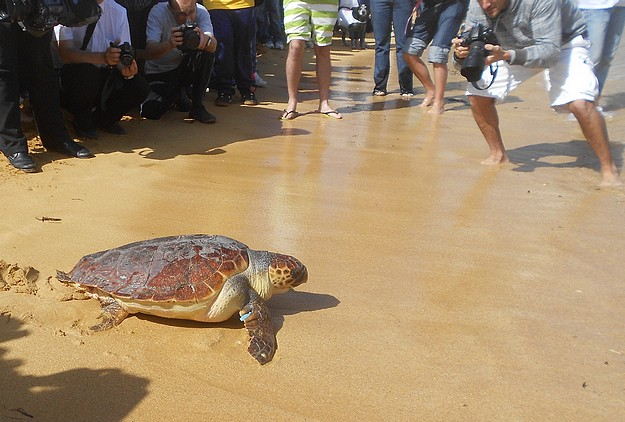Two loggerhead turtles released this morning at Gnejna Bay