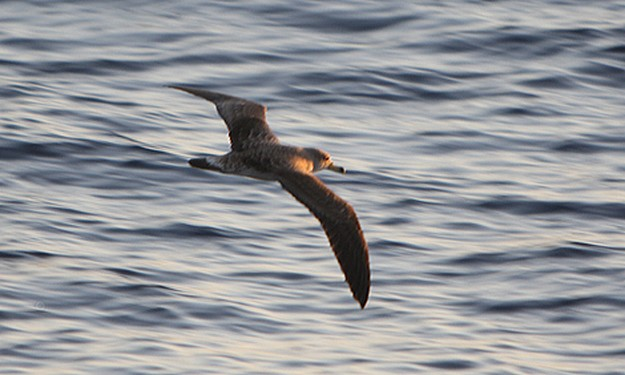 Cory Shearwater watching in Gozo for BOV staff members