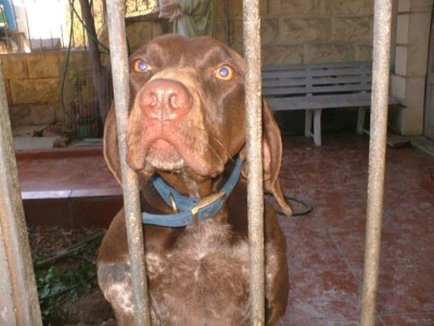 Grigio, a German Shorthaired Pointer needs a forever home