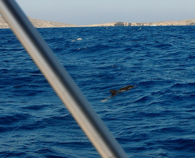 Injured juvenile dolphin spotted in the Gozo channel
