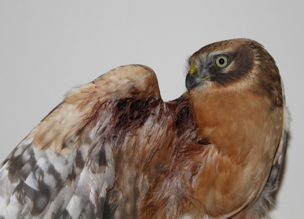 Rare bird shot down in Gozo sent to Sicily for rehabilitation