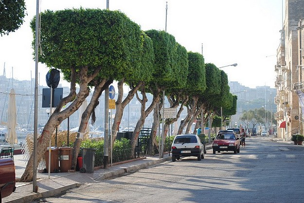 """Existing trees to be retained along Senglea waterfront"""