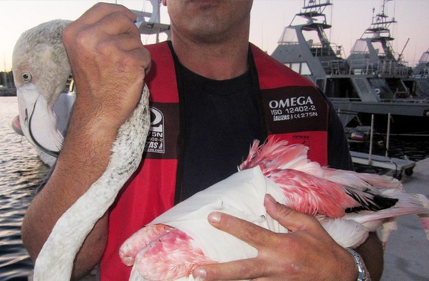 AFM rescues injured Greater Flamingo seen afloat in the sea