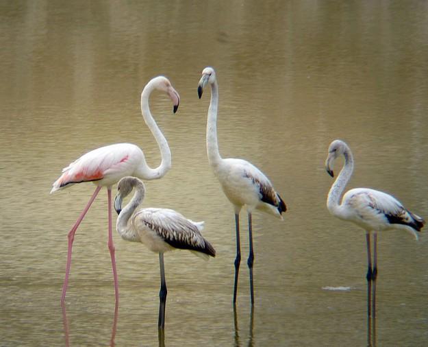 Greater Flamingos under guard tonight at Salina salt pans