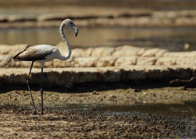 Hunters condemn shooting of Greater Flamingos near Qawra